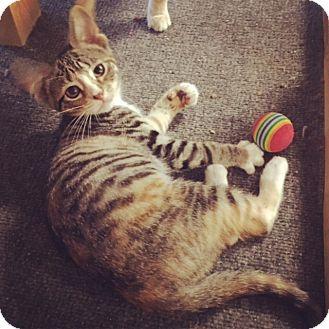 American Shorthair Kitten for adoption in Raleigh, North Carolina - Ripple