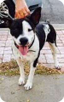Cattle Dog/Staffordshire Bull Terrier Mix Dog for adoption in Phoenix, Arizona - Betsy