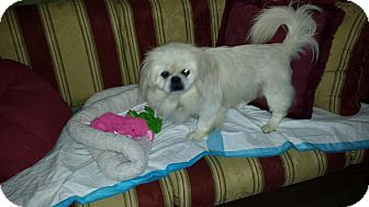 Pekingese Dog for adoption in Richmond, Virginia - Bentley