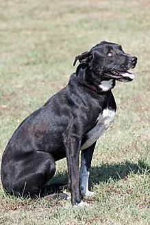 Pit Bull Terrier/Labrador Retriever Mix Dog for adoption in Broken Arrow, Oklahoma - Maggie
