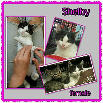 Domestic Shorthair Kitten for adoption in Richmond, California - Shelby