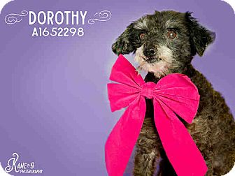 Poodle (Toy or Tea Cup) Mix Dog for adoption in Creston, California - Dorothy