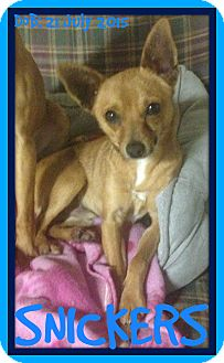 Chihuahua/Terrier (Unknown Type, Small) Mix Dog for adoption in Middletown, Connecticut - SNICKERS