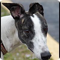 Adopt A Pet :: Spirited - Sarasota, FL