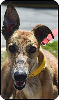 Greyhound Dog for adoption in North Port, Florida - KB's Gumballs