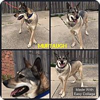 Adopt A Pet :: Murtaugh - Garden City, MI