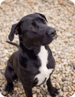 Labrador Retriever Mix Dog for adoption in Lewisville, Indiana - Ralph