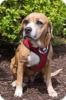 Beagle Mix Dog for adoption in Wichita, Kansas - Carrie