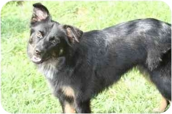 Sheltie, Shetland Sheepdog/Shepherd (Unknown Type) Mix Puppy for adoption in Beavercreek, Ohio - Josie