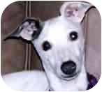 Italian Greyhound Dog for adoption in Oklahoma City, Oklahoma - Ellis