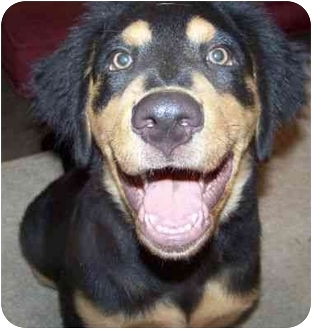 Golden retriever rottweiler mix puppies – Dogs in our life ...