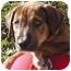 Photo 2 - Labrador Retriever/German Shepherd Dog Mix Puppy for adoption in El Segundo, California - Lu
