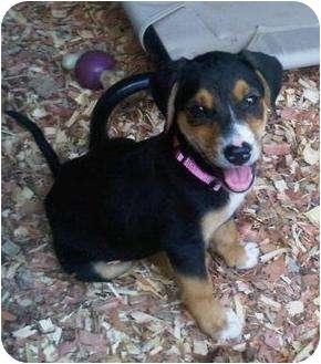 Beagle/Labrador Retriever Mix Puppy for adoption in Staunton, Virginia - Sweetie Pie
