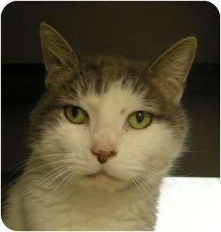 Domestic Shorthair Cat for adoption in Virginia Beach, Virginia - Casanova