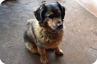 Labrador Retriever/Leonberger Mix Dog for adoption in Jersey City, New Jersey - Desirée Annette Weeks