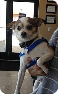 Chihuahua Mix Dog for adoption in Freeport, New York - Hugo