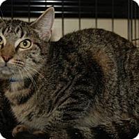 Domestic Shorthair Cat for adoption in Houston, Texas - Millard