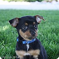 Adopt A Pet :: Reggie - Broomfield, CO