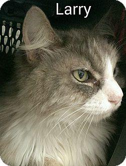 Domestic Longhair Cat for adoption in Elizabeth City, North Carolina - Larry