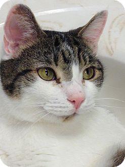 Domestic Shorthair Cat for adoption in Richmond, Virginia - Paulie (adoption pending)