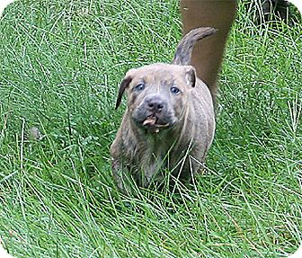Chow Chow/German Shorthaired Pointer Mix Puppy for adoption in Holland, Michigan - Mugsy