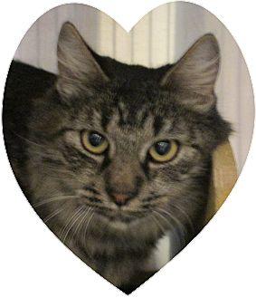 Domestic Shorthair Cat for adoption in Pueblo West, Colorado - Lola