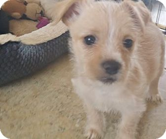 Terrier (Unknown Type, Small) Mix Puppy for adoption in Inland Empire, California - TWINKLE