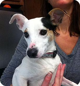 Rat Terrier Mix Dog for adoption in Indianapolis, Indiana - Mackenzie