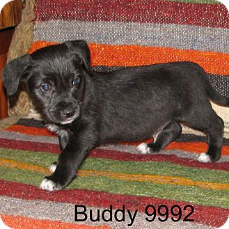 Westie, West Highland White Terrier/Boxer Mix Puppy for adoption in Greencastle, North Carolina - Buddy II