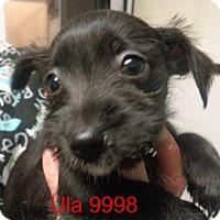 Adopt A Pet :: Ula - Greencastle, NC