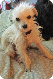 Chihuahua/Yorkie, Yorkshire Terrier Mix Dog for adoption in Studio City, California - Kasha