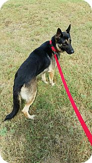 German Shepherd Dog Dog for adoption in SAN ANTONIO, Texas - FARO