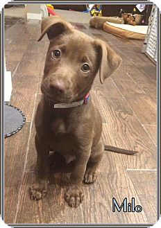 Labrador Retriever Puppy for adoption in Lincoln, Nebraska - MILO