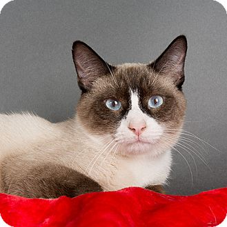 Siamese Cat for adoption in Wilmington, Delaware - Charlie Brown