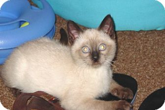 Siamese Kitten for adoption in Green Cove Springs, Florida - Charlie
