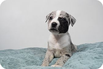Catahoula Leopard Dog/Pit Bull Terrier Mix Puppy for adoption in Bergen County, New Jersey - Lola