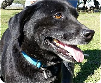 Labrador Retriever Mix Dog for adoption in Huntington, New York - Laura - N - will be in CT soon
