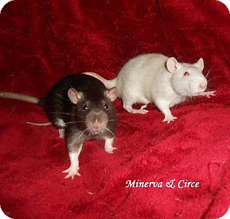 Rat for adoption in Philadelphia, Pennsylvania - MINERVA and CIRCE