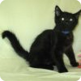 Domestic Shorthair Cat for adoption in Powell, Ohio - Phantom