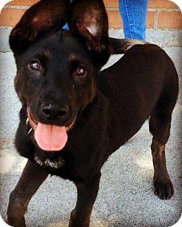 German Shepherd Dog/Shepherd (Unknown Type) Mix Puppy for adoption in Los Angeles, California - DEANGELO (video)