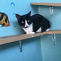 Domestic Shorthair Cat for adoption in Woodward, Oklahoma - Olive