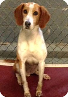 Coonhound/Hound (Unknown Type) Mix Dog for adoption in Mount Holly, New Jersey - Ruby