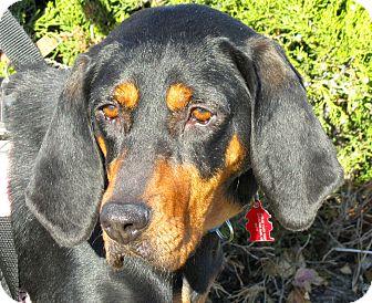 Coonhound Mix Dog for adoption in Overland Park, Kansas - June Bug