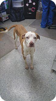 Catahoula Leopard Dog Mix Dog for adoption in Gainesville, Georgia - Sapphire