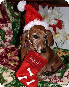Dachshund Dog for adoption in Spokane, Washington - Wally-sweet,6-8 yrs, $250 fee