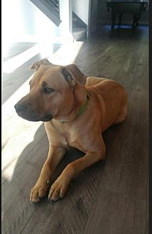 American Pit Bull Terrier/Shepherd (Unknown Type) Mix Dog for adoption in Fulton, Missouri - Maxwell - Idaho