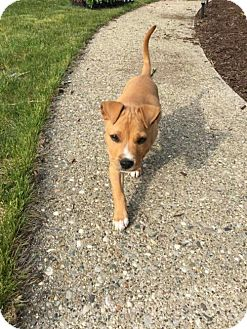Pit Bull Terrier/Boxer Mix Dog for adoption in Wyoming, Michigan - Wilson