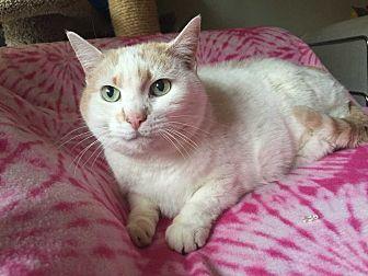 Domestic Shorthair Cat for adoption in Addison, Illinois - Landy