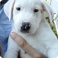 Australian Shepherd Mix Puppy for adoption in Columbia, Maryland - Pablo