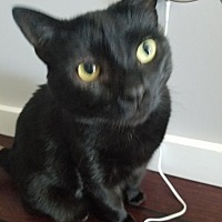 American Shorthair Cat for adoption in Dundalk, Maryland - Purrcilla